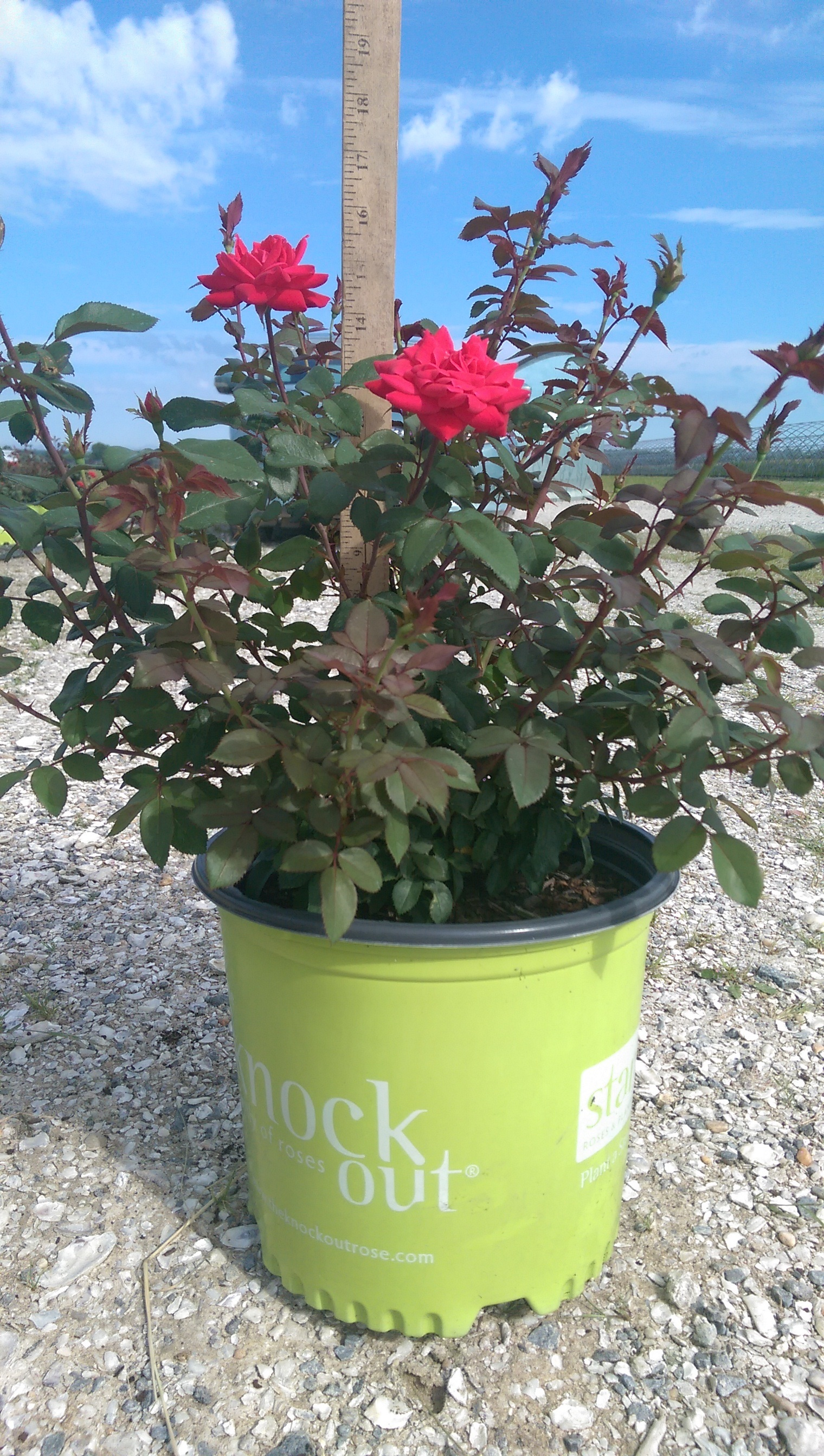 Rose Double Knock-Out Red-3g