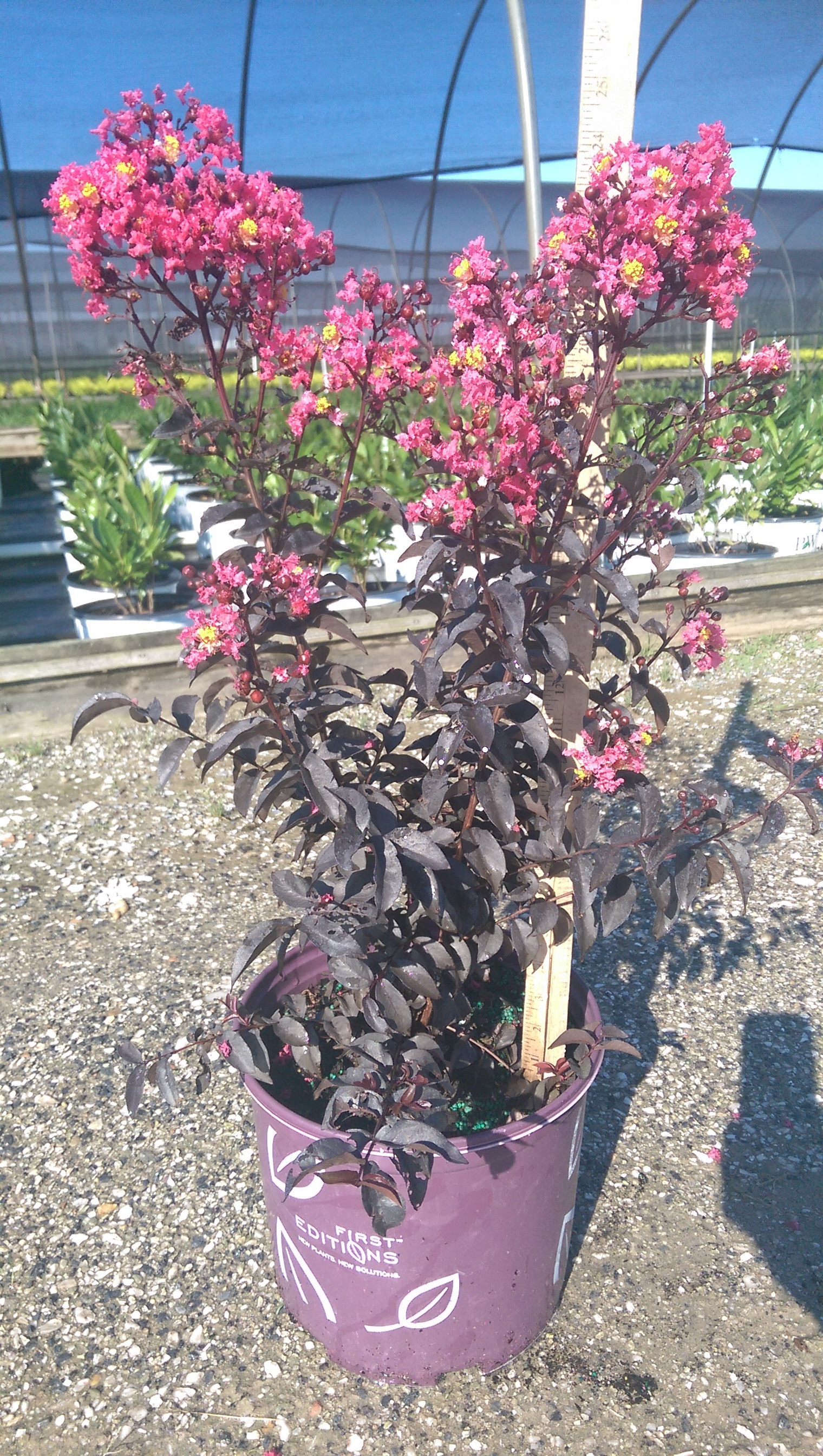 Lagerstroemia Midnight Magic-3g
